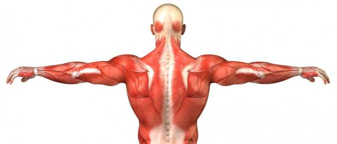 muskelvävnad
